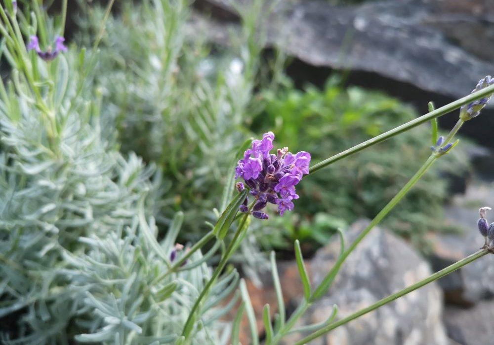 2018-09-23 19.17.20-lavendel